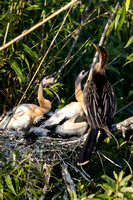 Anhinga with Chicks